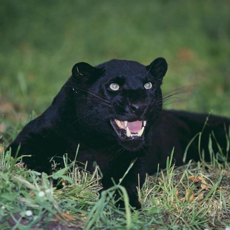 dlillc-black-panther-sitting-in-grass