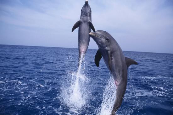 dlillc-bottlenosed-dolphins-leaping-from-water