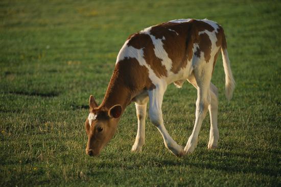 dlillc-brown-and-white-calf