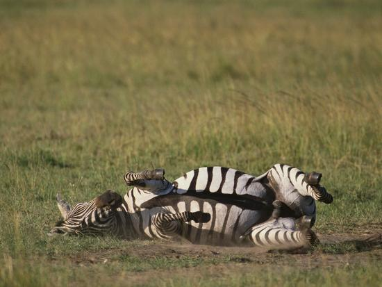 dlillc-burchell-s-zebra-rolling-in-dirt