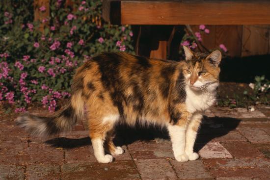 dlillc-calico-cat-outside