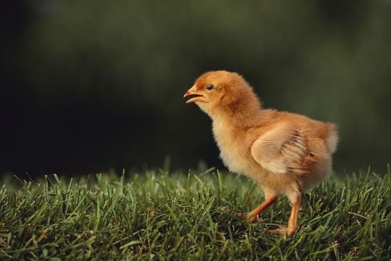 dlillc-chick