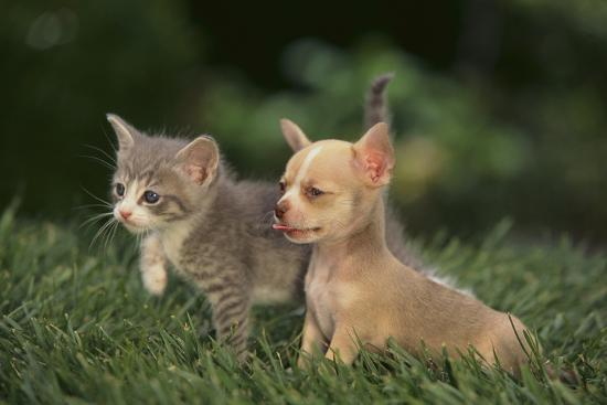 dlillc-chihuahua-puppy-and-a-kitten