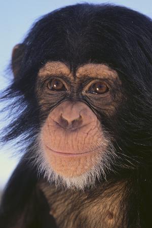 dlillc-chimpanzee