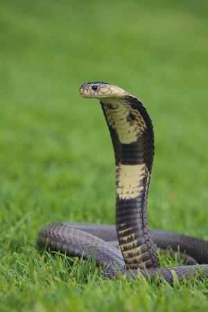 dlillc-cobra