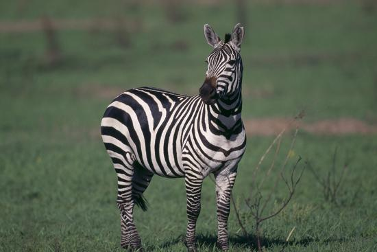 dlillc-common-zebra
