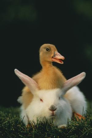 dlillc-duckling-sitting-on-rabbit