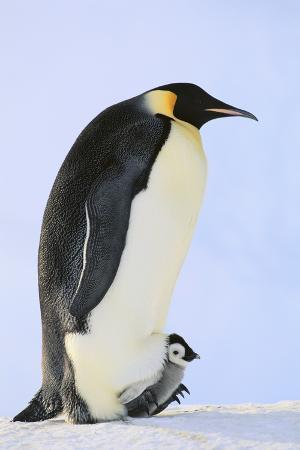 dlillc-emperor-penguin-protecting-offspring-from-the-cold