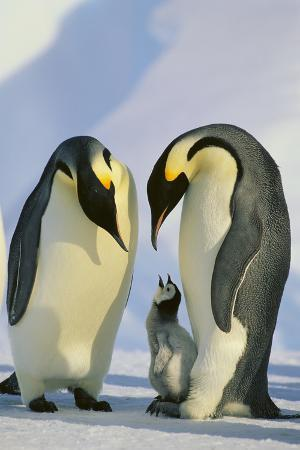 dlillc-emperor-penguins-and-offspring