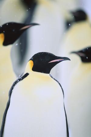 dlillc-emperor-penguins-in-the-snow