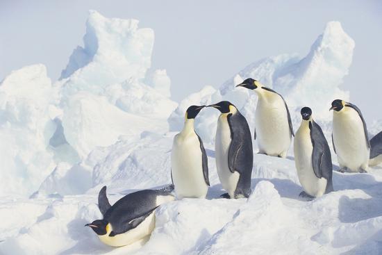 dlillc-emperor-penguins-sliding-downhill
