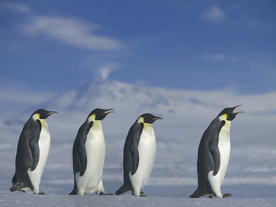 dlillc-emperor-penguins-walking