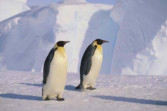 dlillc-emperor-penguins