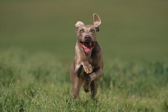 dlillc-excited-weimaraner-running-in-field