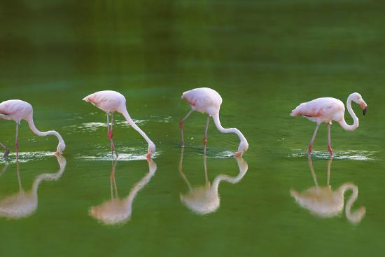 dlillc-flamingoes-in-water