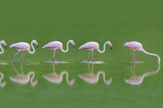 dlillc-flamingoes