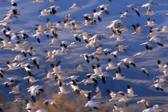 dlillc-flock-of-snow-geese-in-flight