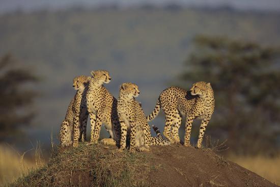 dlillc-four-cheetahs