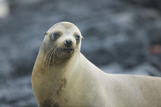 dlillc-galapagos-sea-lion
