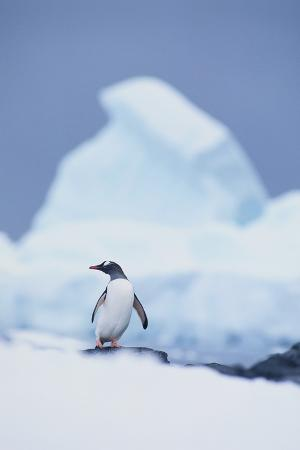 dlillc-gentoo-penguin