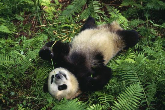 dlillc-giant-panda-cub-rolling-on-forest-floor