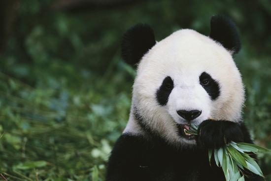 dlillc-giant-panda-in-the-forest