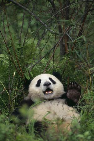 dlillc-giant-panda-lying-in-forest