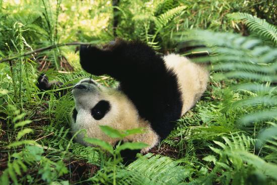 dlillc-giant-panda-rolling-on-forest-floor