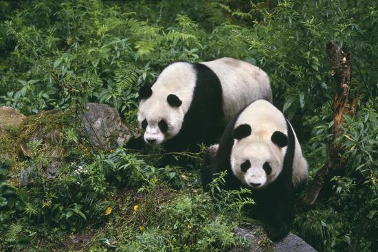 dlillc-giant-pandas-walking-in-forest