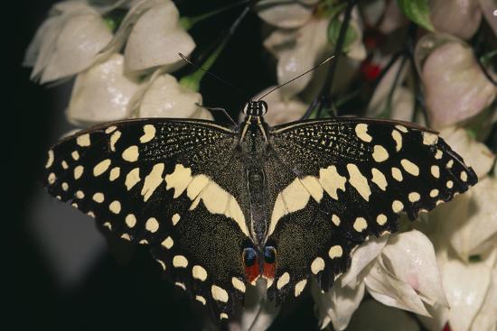 dlillc-giant-swallowtail