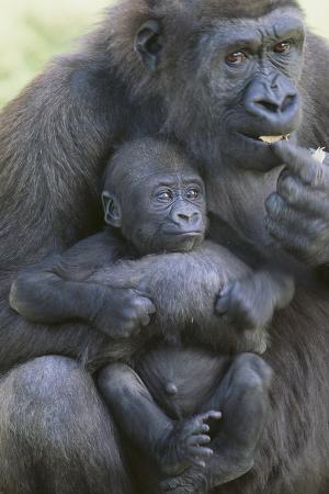 dlillc-gorilla