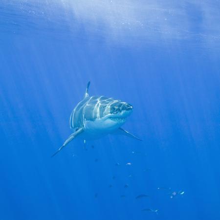 dlillc-great-white-shark