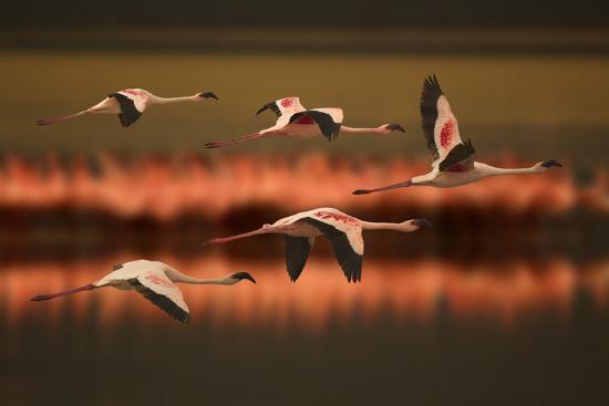dlillc-greater-flamingos