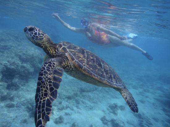 dlillc-green-sea-turtle-swimming-in-shallow-water