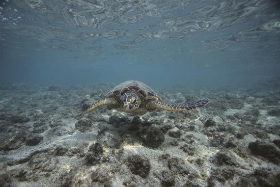 dlillc-green-sea-turtle-swimming