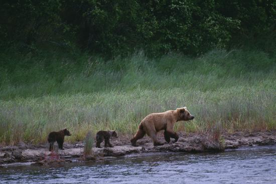 dlillc-grizzly-cubs-with-mother-by-river