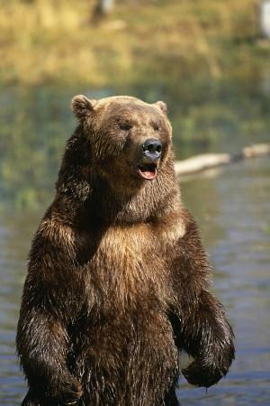 dlillc-grizzly-standing-in-stream