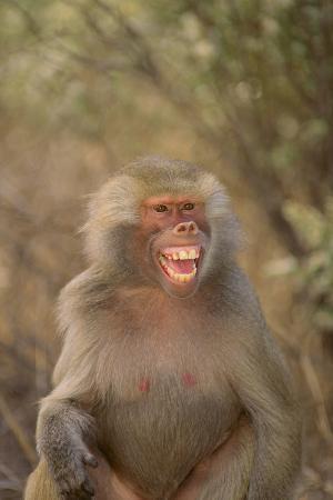 dlillc-hamadryas-baboon-baring-teeth