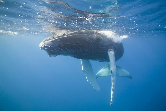 dlillc-humpback-calf-on-surface