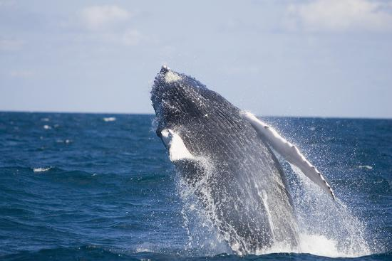 dlillc-humpback-whale-breaching-from-the-atlantic-ocean