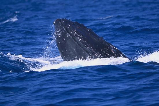 dlillc-humpback-whale-surfacing-in-the-ocean
