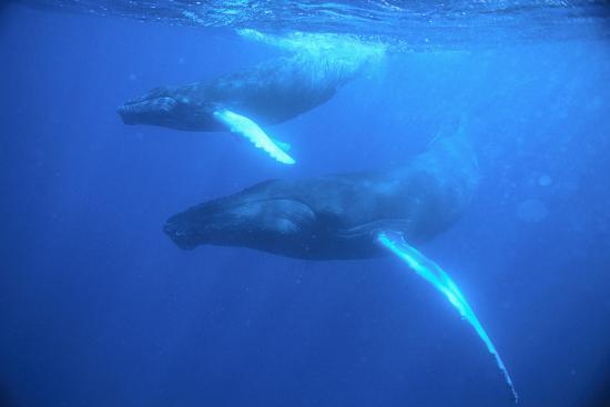 dlillc-humpback-whales