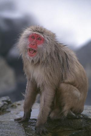 dlillc-japanese-macaque-on-rock