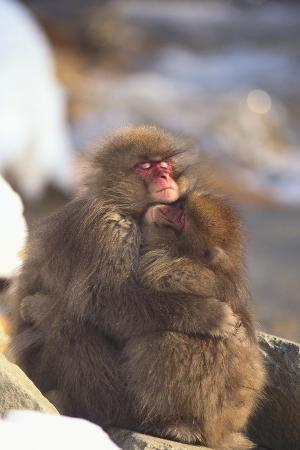dlillc-japanese-macaques-hugging