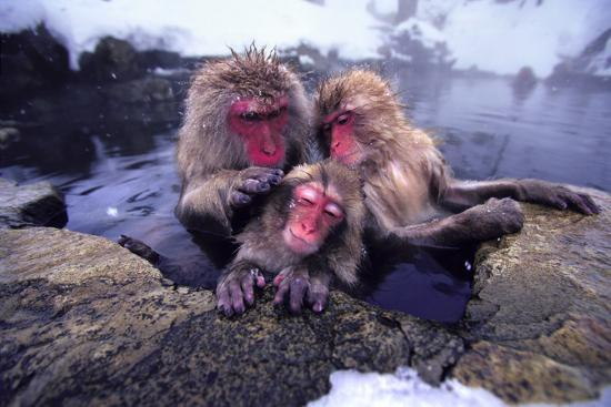 dlillc-japanese-macaques-in-hot-spring