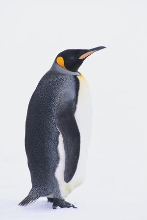 dlillc-king-penguin
