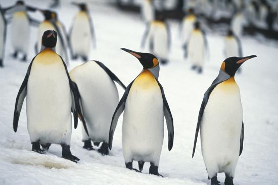 dlillc-king-penguins