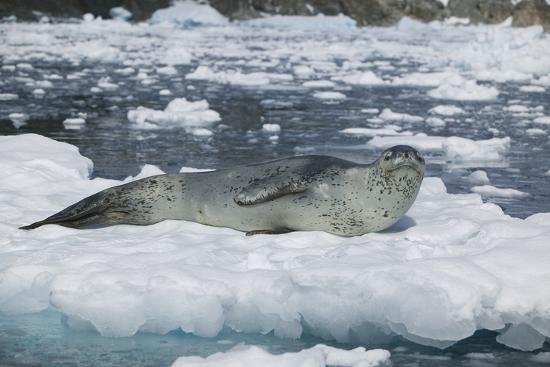 dlillc-leopard-seal-looking-up