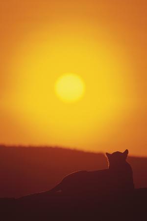 dlillc-lion-at-sunset