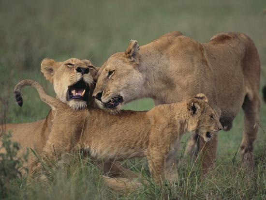 dlillc-lion-cub-nuzzling-adult-lions